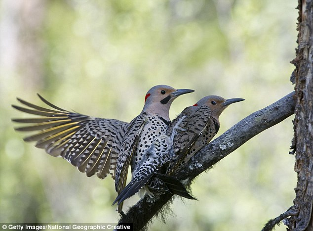 The Northern Flicker comes in two varieties, with birds living in the west having a salmon pink or orange tinge to the undersides of their wings, while the eastern 'yellow shafted' birds are yellow