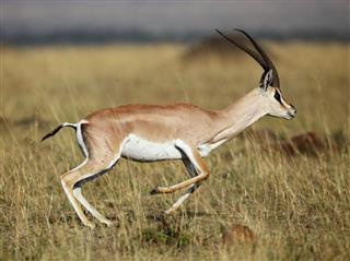 Grant Gazelle In Its Natural Habitat