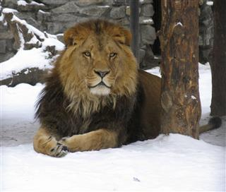 African Lion On The Snow
