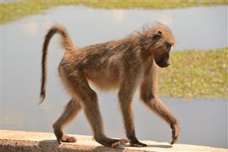 Chacma Baboon Crossing The River