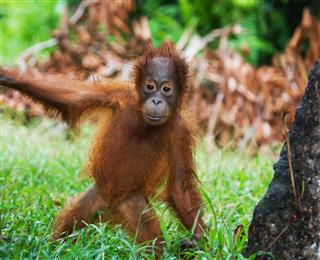 A Baby Orangutan In The Wild