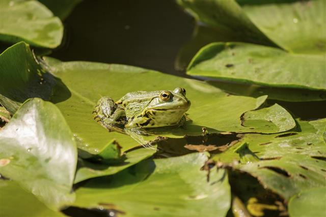 Green frog on lily pads