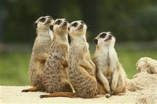 Lovely team of meerkats