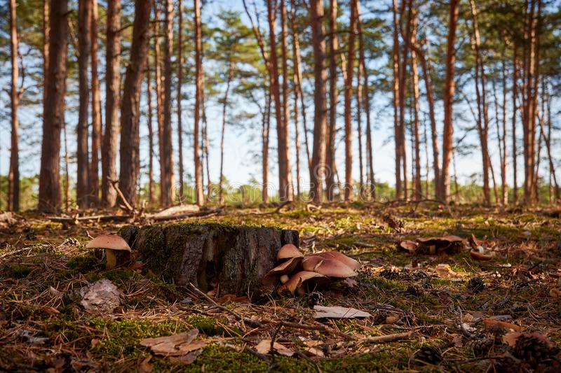 Close-up view of a forest with blue sky, stump and mushrooms bet stock photos