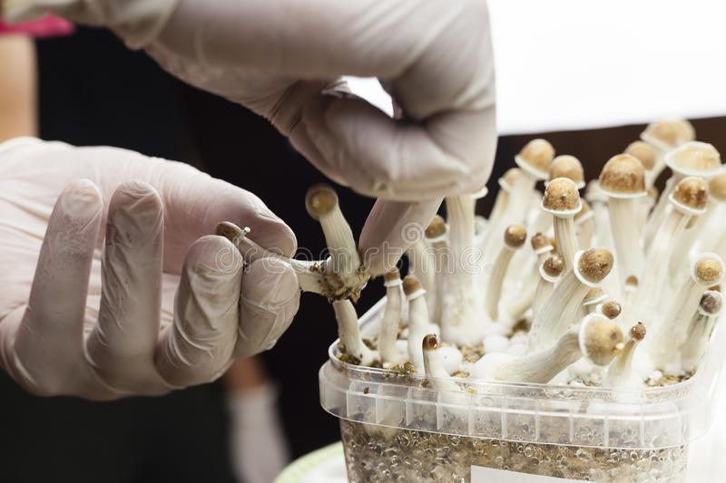 Growing indoor psylocybin psychedelic mushrooms stock photo