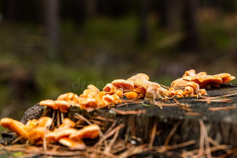 Mushrooms growing on the stump in the pine forest. Czech Republic stock photo