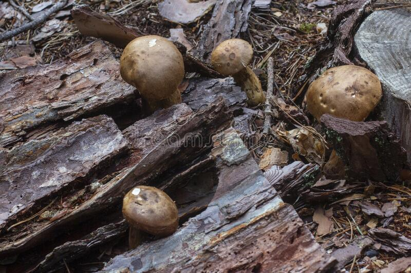 Mushrooms near a stump in a pine forest royalty free stock photo